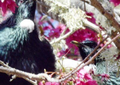 tuis in blossom